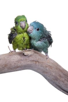 ♥ Pet Bird Stuff ♥ Baby parrotlets! So adorable!!