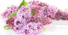 How to Care for Dwarf Korean Lilac - Ask.com