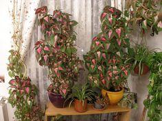 Cretona: Una planta que gusta del frío | Cuidar de tus plantas es facilisimo.com