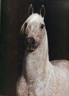 Ambition (PL) 1972 Pure Polish Grey Arabian stallion. Bask {Witraz x Balalajka by Amurath Sahib} x Bint Ambara {Comet x Ambara by Wielki Szlem}