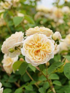 'Teasing Georgia' roses
