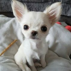 Cute white chihuahua
