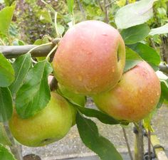 Le Domestica Charles Ross Online From Jacksons Nurseries Fruit Plants Trees