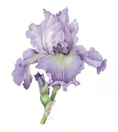 Iris 'Tides In' Christine Stephenson