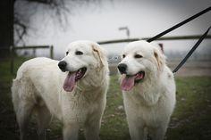 Maremma Sheepdog (Cane da pastore Maremmano-Abruzzese