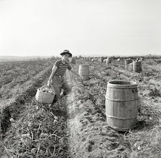 """October 1940. """"Near Caribou, Maine. The opening of school was delayed in sections of Aroostook County so children could help pick potatoes."""" Does this beat Introduction to Algebra? Photo by Jack Delano."""