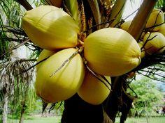 Cocos nucifera L. [Malayan Yellow Dwarf]