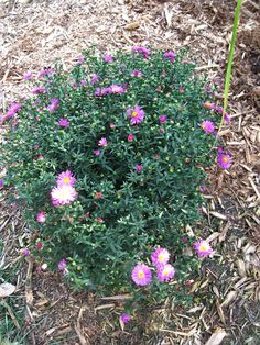 Pink Aster, starting to pop her blooms...