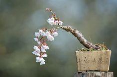 mame, cascading specimen (major inspiration for own prunus incisus tree! Terrarium Plants, Bonsai Plants, Bonsai Garden, Bonsai Trees, Ikebana, Cherry Bonsai, Bonsai Mame, Plantas Bonsai, Moss Garden