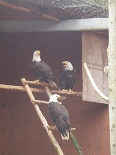 Eagles recovering from their injuries in the Prince Rupert Wildlife Shelter, BC