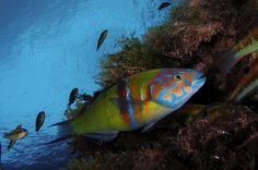 Thalassoma pavo (foto di Filippo Borghi)
