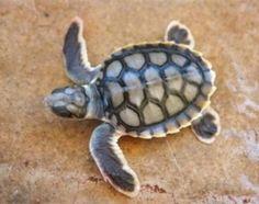 anim, seas, babi sea, flatback sea, sea turtles, turtl turtl