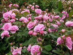 En el jardin: bienvenidas rosas...!