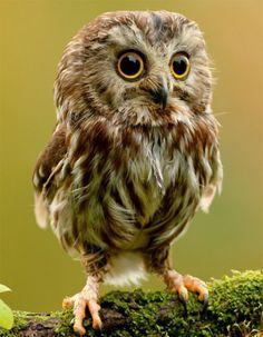 baby owl - bébé hibou chouette