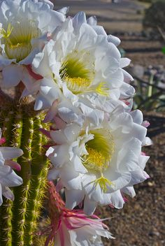 White Torch Cactus blossoms (Echinopsis spachiana)