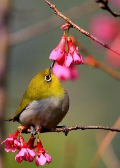 Adorable, tiny, Cape White Eye Bird