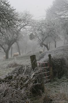 Frosty Orchard at Mordiford. lovely place to visit summer or winter:)