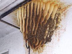 Wild Beehive.