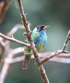 Beautiful! Chlorophanes spiza / Mielero verde / Green Honeycreeper (juvenile)