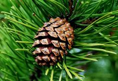 The Pine Cone Theory. | Epicuriously Living