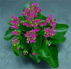 Widows Thrill (kalanchoe): Kalanchoe /ˌkæləŋˈkoʊ.iː/, or kal-un-KOH-ee, or kal-un-kee, also written Kalanchöe or Kalanchoë, is a genus of about 125 species of tropical, succulent flowering plants in the family Crassulaceae, mainly native to the Old World. Only one species of this genus originates from the Americas, 56 from southern & eastern Africa and 60 species in Madagascar. It is also found in south-eastern Asia until China.  https://en.wikipedia.org/wiki/Kalanchoe