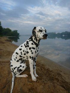 Dalmatian Lika