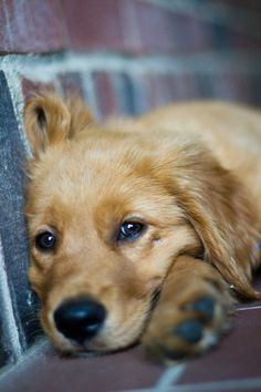 Golden Retriever/dogs just make both of us melt and we know we are not alone Baby Dogs, Pet Dogs, Dog Cat, Doggies, Pet Pet, Weiner Dogs, Perros Golden Retriever, Golden Retrievers, Cute Puppies