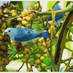 Blue-gray tanagers, Osa Peninsula, Costa Rica #tanager #bird #birdsofinstagram #ornithology #bestbirdshots #feather #jungle #rainforest #wildlife #wildlifephotography #nature #osa #osapeninsula #costarica #puravida #fieldschool #bestnatureshots #blue @all_mighty_birds #friday #tgif @4u2c_natureshotz @your_best_birds @bestbirdshots #DANTA