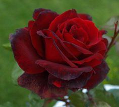 rose collection in progress on pinterest hybrid tea. Black Bedroom Furniture Sets. Home Design Ideas