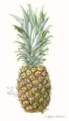 Step by Step for a Pineapple picture – gaynorsflora Watercolor Fruit, Watercolor Paintings, Watercolours, Pineapple Sketch, Pineapple Pictures, Decay Art, Still Life Drawing, Color Pencil Art, Botanical Art