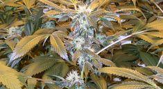 Rechtliche Absicherung zu Indoor Weed Anbau - Der Anbau von Marihuana ist noch nicht überall legal. Deswegen hier die rechtliche Absicherung im Growbook Indoor Weed Anbau. Cannabis, Weed, Plants, Hemp, Harvest, Ganja, Marijuana Plants, Plant, Planets