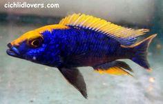 Tropical Freshwater Fish, Tropical Fish Aquarium, Freshwater Aquarium Fish, Aquarium Fish Tank, Cichlid Aquarium, Cichlid Fish, Malawi Cichlids, African Cichlids, Lake Tanganyika