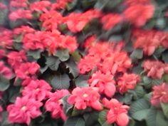 Poinsettia - red
