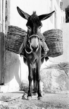 by Rene Burri Greece, 1957 Farm Animals, Animals And Pets, Cute Animals, Cute Donkey, Donkey Donkey, Motifs Animal, Magnum Photos, Zebras, Animal Paintings
