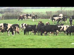 Las vacas más felices del mundo con el encuentro del pasto verde.