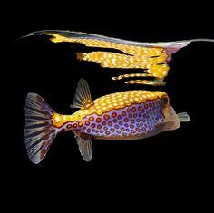 La vie sous-marine des poissons exotiques vue par le photographe Mark Laita EN PHOTO dans la suite de l'articles ...