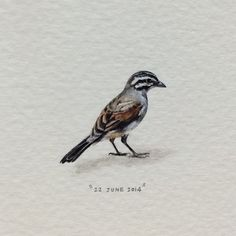 Day 173 : Rooivlerkstreepkoppie   Cape Bunting   Emberiza Capensis. /// 20 x 24 mm. #365postcardsforants #miniature #watercolour #wdc624 #capebunting #bird #capetown #lovecapetown