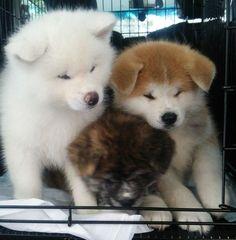 秋田県大館市でかわいい秋田犬の六つ子が誕生!ふわっふわのあか、しろ、とらが勢揃い|コロカルニュース
