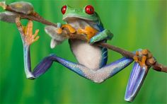 Tropical Tree Frogs: Observational Drawing (May Funny Frogs, Cute Frogs, National Geographic, Red Eyed Tree Frog, Poison Dart Frogs, Observational Drawing, Paludarium, Colorful Trees, Frog And Toad