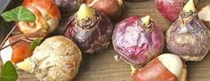 Apprenez-en davantage sur la plantation des différents bulbes d'été...