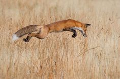 Winning photos from Wildlife Photographer of the Year 2013 - Fox hunting in Yellowstone National Park, Wyoming Wild Life, Wildlife Photography, Animal Photography, Focus Photography, Animals Beautiful, Cute Animals, Photo Animaliere, Concours Photo, Fox Hunting