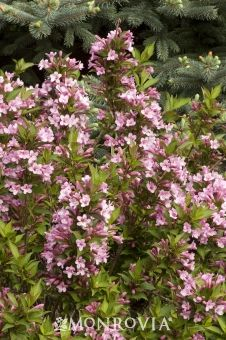 Monrovia's Pink Poppet Weigela details and information. Learn more about Monrovia plants and best practices for best possible plant performance.