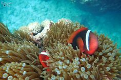 Clownfish While Diving and Snorkeling in Sipalay, Negros - Philippines (Olympus TG-3 Sample Photos)