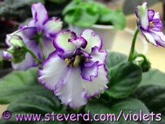 pen-n-ink african violet