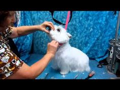 Grooming Guide - West Highland White Terrier Pet Trim - Pro Groomer - YouTube