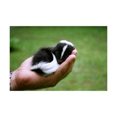 Photo Essay: Baby Animals – Part 1 | Skunk ❤ liked on Polyvore