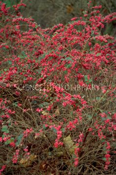 Symphoricarpos orbiculatus | Also called Coralberry. For part to full shade. Birds eat the berries.