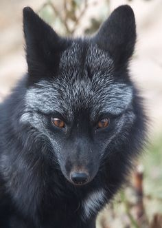 I miss my pet Black Fox. He was the most beautiful fox I've ever seen! I will have another one, one of these days.