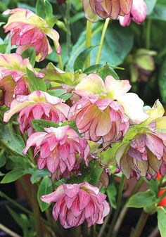 Helleborus 'Peppermint Ice'. 2' tall by 2' wide. Tough, reliable & long-lived shade lovers - Hellebores tolerate poor soil, clay, drought & marauding deer. Rutgers Deer Resistance Rating: A = Rarely Damaged. Blooms winter through spring.
