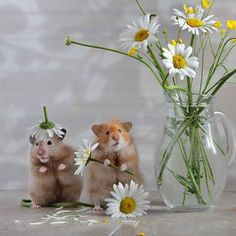pawsforpets:  hamsters